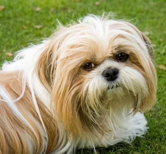 Best Shih Tzu Haircuts The Popular Options You Can Choose From